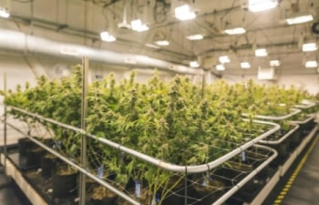 TSXV Cannabis Stocks
