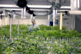 Regulations Shaping the International Medical Cannabis Market